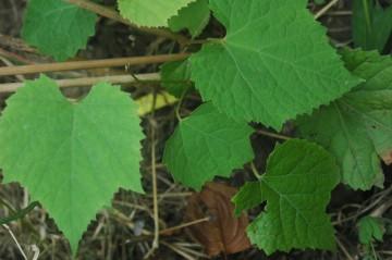 Vitis amurensis (Winorośl amurska) - C2