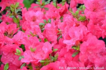 Rhododendron japanese azalea 'Canzonetta'