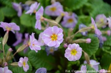 Primula vulgaris 'Avondale' (Pierwiosnek bezłodygowy) - P11