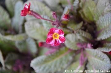 Primula 'Dark Rosaleen' (Pierwiosnek mieszańcowy) - P11