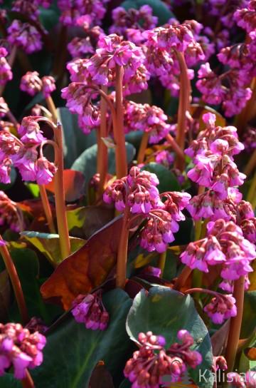 Bergenia cordifolia 'Eroica' (Bergenia sercowata) - C2