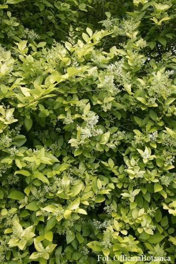 Ligustrum ovalifolium 'Aureum' (Ligustr jajolistny) - C2