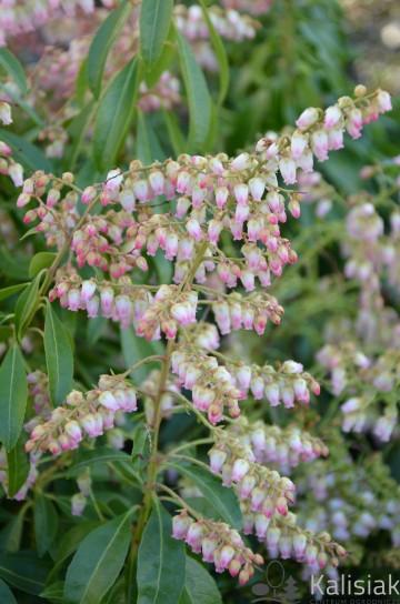 Pieris japonica 'Valley Rose' (Pieris japoński) - C2