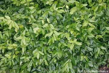 Euonymus fortunei 'Coloratus' (Trzmielina Fortune'a) - C1,5