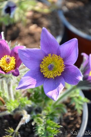 Pulsatilla vulgaris 'Pinwheel Blue Violet Shades' (sasanka) - C2