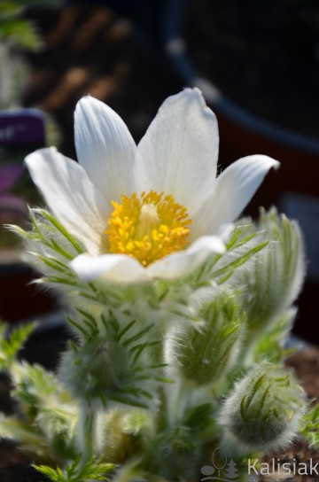 Pulsatilla vulgaris 'Pinwheel White' (sasanka) - C2