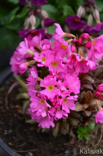 Primula rosea 'Grandiflora' (Pierwiosnek) - C2