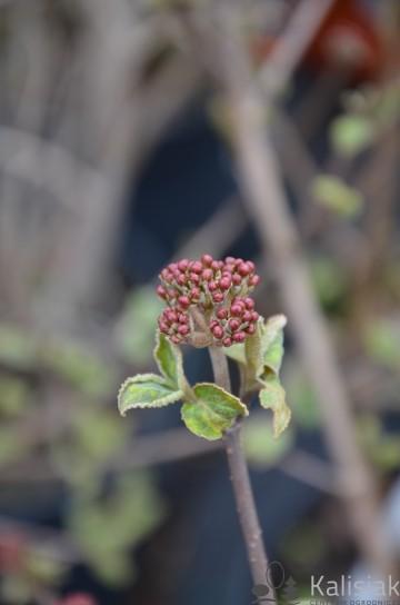 Viburnum carlesii 'Juddii' (Kalina koreańska) - C5