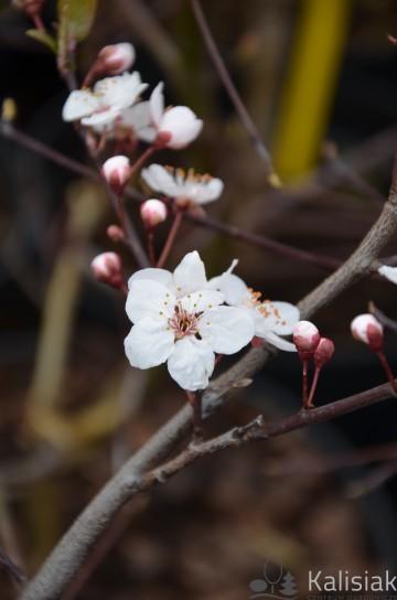 Prunus cerasifera 'Hollywood' (Śliwa ałycza) - C5