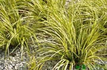 Acorus gramineus 'Ogon' (Tatarak trawiasty) - C1,5