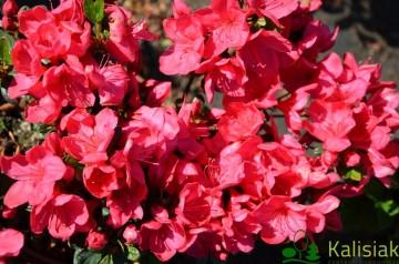 Rhododendron japanese azalea 'Muttertag'