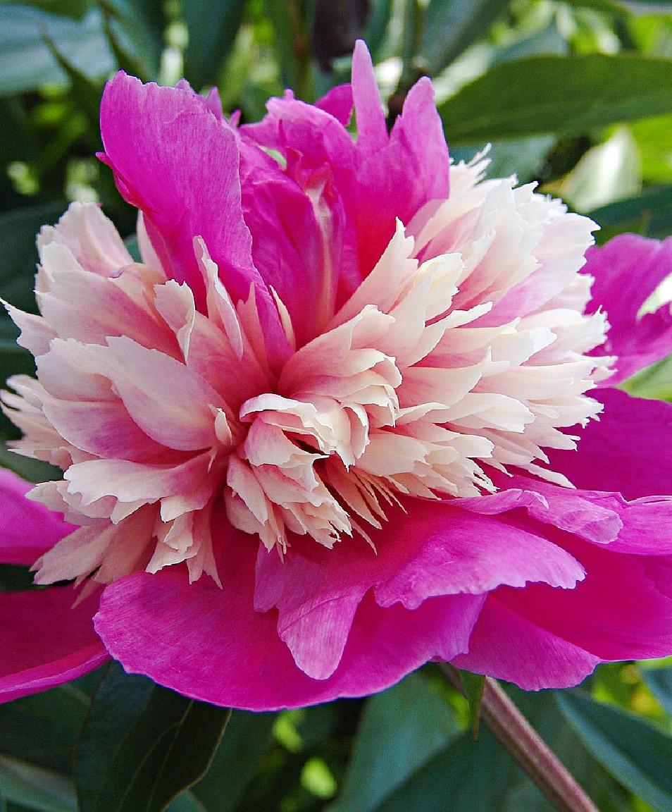 Paeonia lactiflora 'Celebrity' (Piwonia chińska) - C3