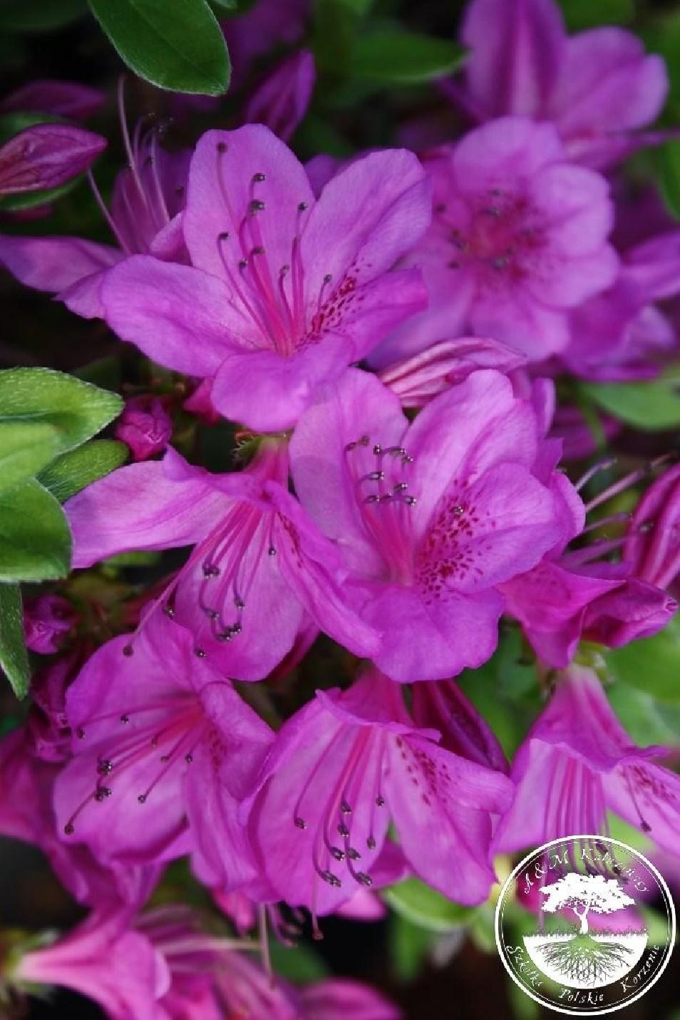 Rhododendron japanese azalea 'Orlice'