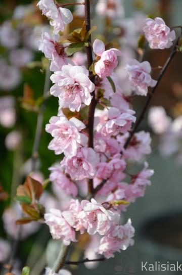 Prunus blireana (Śliwa czerwonolistna) - C5