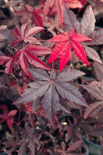 Acer palmatum 'Red Emperor' (Klon palmowy) - C5 bonsai