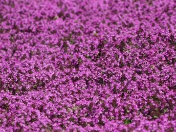Thymus praecox 'Red Carpet' (Macierzanka wczesna) - C2