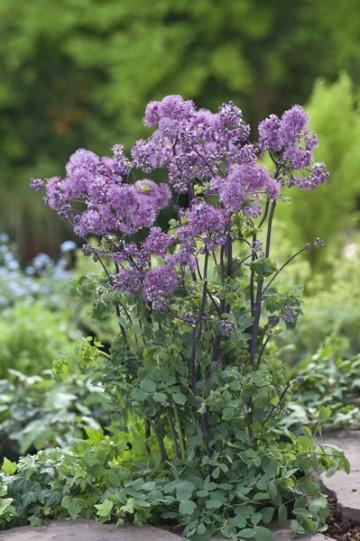 Thalictrum 'Purplelicious' (Rutewka mieszańcowa) - P13