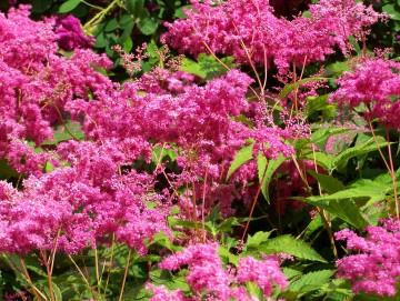 Filipendula purpurea 'Elegans' (Wiązówka purpurowa) - P13