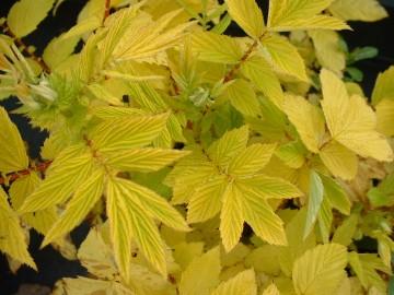Filipendula ulmaria 'Aurea' (Wiązówka błotna) - P13