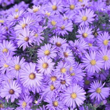 Aster 'Lady in Blue' (Aster)  - C2