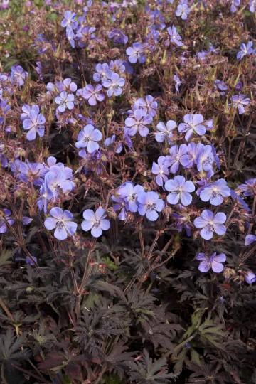 Geranium pratense 'Hocus Pocus' (Bodziszek łąkowy) - C2