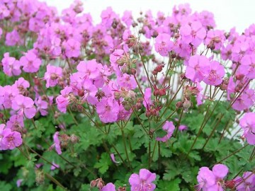 Geranium cantabrigiense 'Karmina' (Bodziszek kantabryjski) - C2