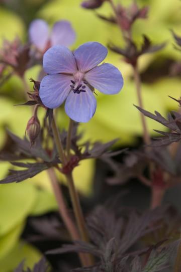 Geranium pratense 'Black Beauty' (Bodziszek łąkowy) - C2