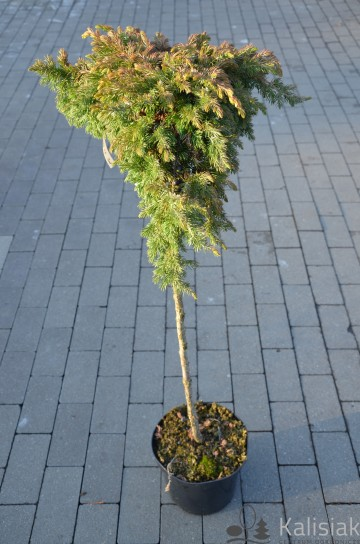 Juniperus conferta 'Sunflower' (Jałowiec nadbrzeżny) - C5 PA