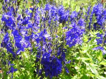 Veronica austriaca 'Royal Blue' (Przetacznik ząbkowany) - C2
