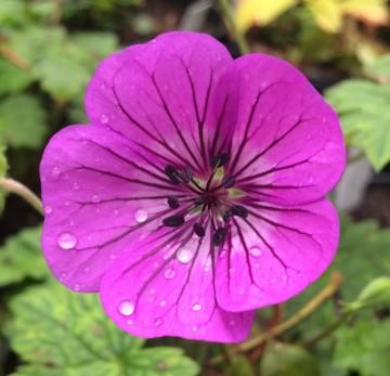 Geranium x hybridum 'Pink Penny' (Bodziszek mieszańcowy) - C2