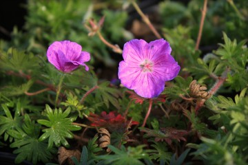 Geranium sanquineum 'Vision Violet' (Bodziszek czerwony) - C2