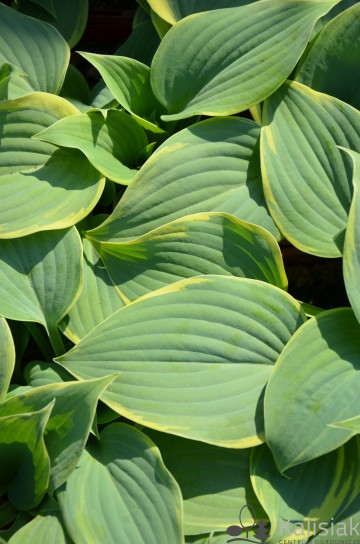 Hosta 'Blue Flame' (Funkia)  - C2