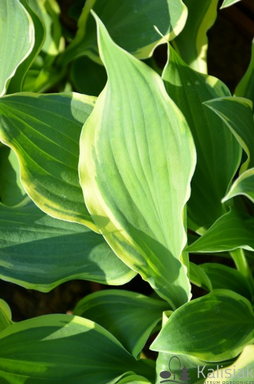 Hosta 'Irish Eyes' (Funkia)  - C2