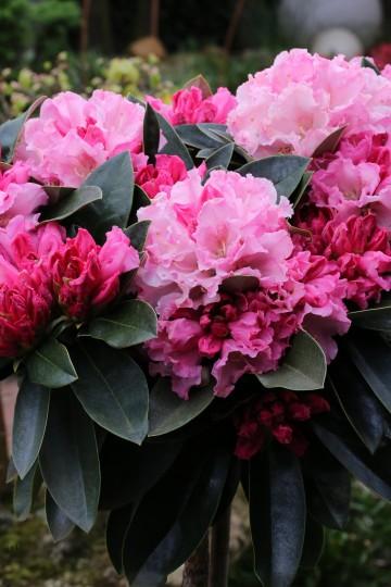 Rhododendron 'Zauberflote' (Różanecznik) - C7,5 PA