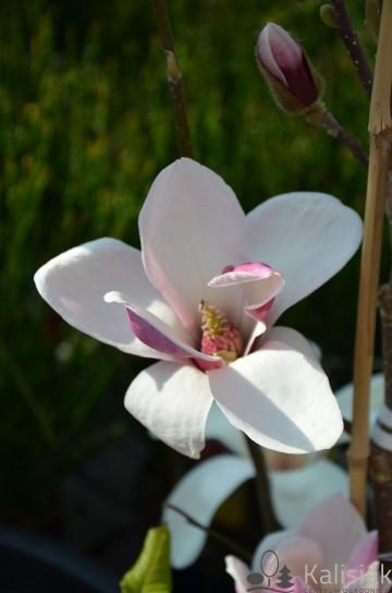 Magnolia soulangeana 'Satisfaction' (Magnolia Soulange'a) - C7,5