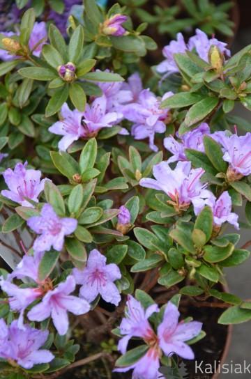 Rhododendron impeditum 'Moerheim' (Różanecznik gęsty) - C2