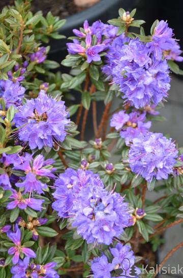 Rhododendron impeditum 'Saint Merryn' (Różanecznik gęsty) - C3