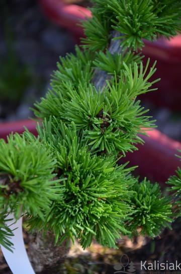 Larix decidua 'Krejci' (Modrzew europejski) - C5 bonsai