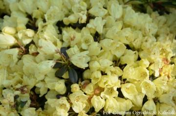 Rhododendron 'Wren' (Różanecznik) - C5