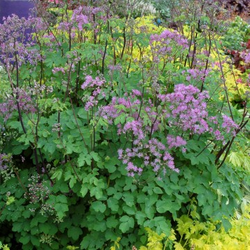 Thalictrum 'Black Stockings' (Rutewka orlikolistna)  - C2