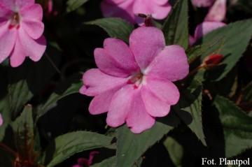 Impatiens SunPatiens 'Vigorous Lavender' (Niecierpek) - AN12