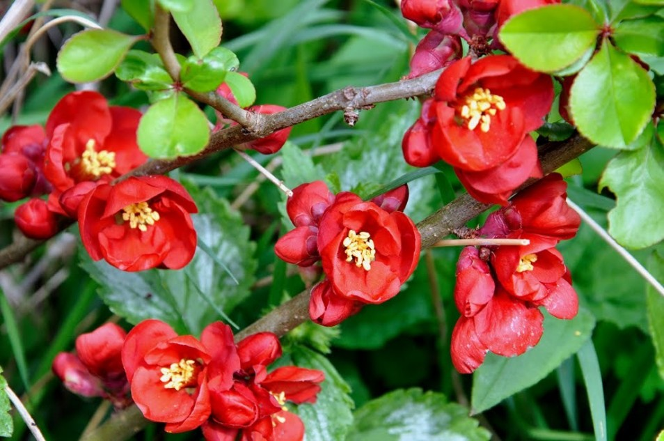 Chaenomeles japonica 'Cido Red'