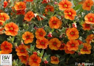 Calibrachoa Superbells pomarańczowy (Millionbells) - AN10
