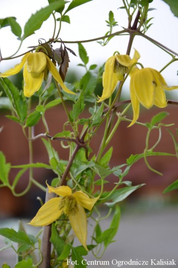 Clematis 'Helios'