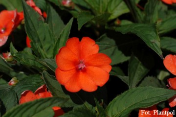 Impatiens SunPatiens 'Vigorous Orange' (Niecierpek)  - AN12