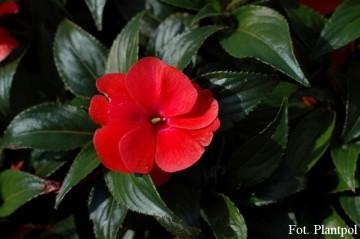 Impatiens SunPatiens 'Compact Deep Rose' (Niecierpek) - AN12