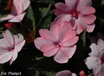 Impatiens SunPatiens 'Compact Blush Pink' (Niecierpek) - AN12