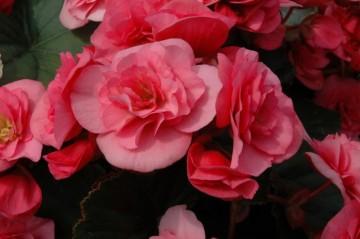 Begonia Solenia różowa (Begonia) - AN12