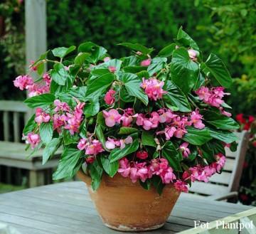 Begonia x hybrida różowa (Begonia Dragon Wing) - AN12