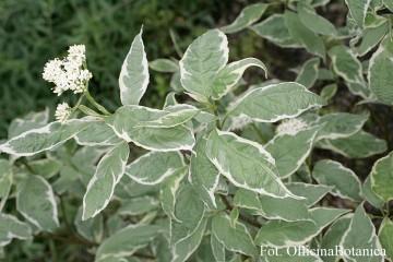 Cornus alba 'Elegantissima' (Dereń biały) - C3